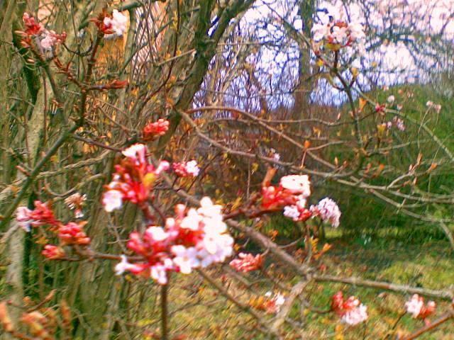 Lenger opp i bakken hadde dette treet funne fram dei finaste rosa blomane sine...