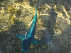 fisk i Rødehavet